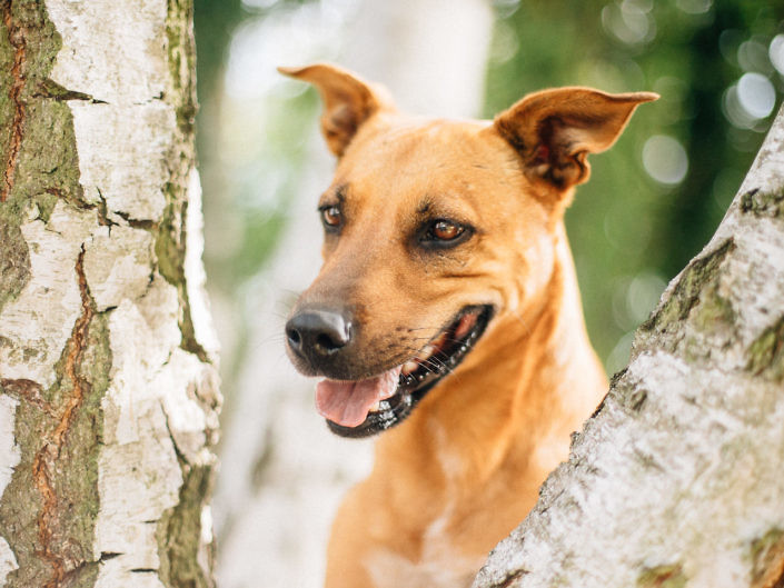 dog-looking-between-birch-trees-1440-1-705x529 Hundefoto