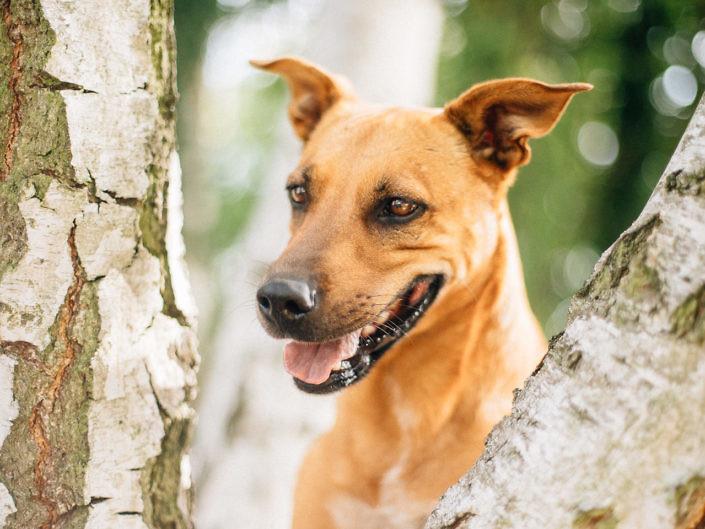 Dog looking between birch trees