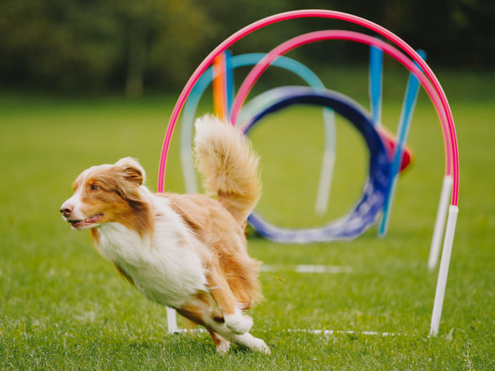 hoopers-agility-red-bi-aussie-1440-1-705x529 Hundefoto