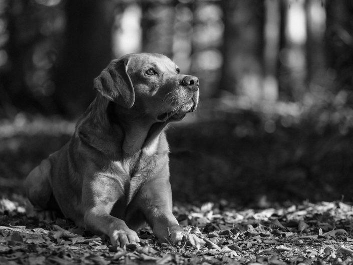 labrador-schwarzweiss-wald-1440-1-705x529 Hundefoto