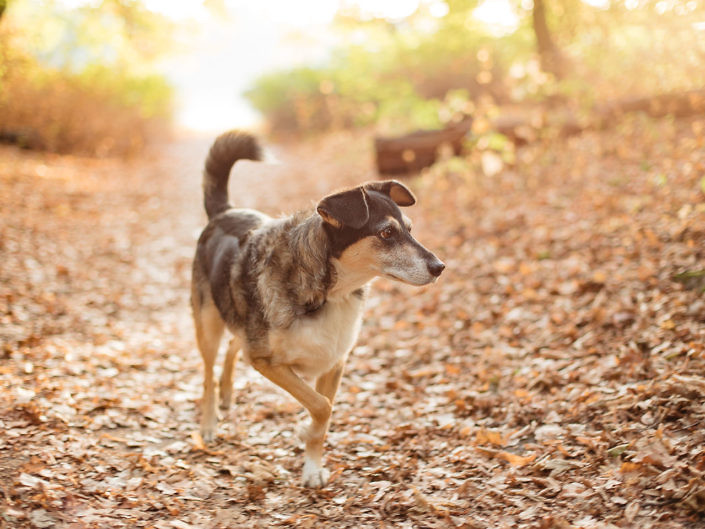 mischlingshund-im-wald-sonnenaufgang-1440-1-705x529 Hundefoto