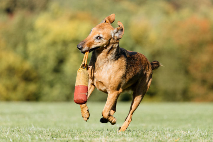 terrier-spielt-köln-1440-1-720x480 Hundefoto