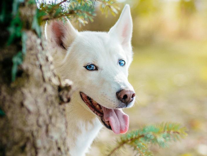 weisser-husky-blaue-augen-1440-1-705x529 Hundefoto