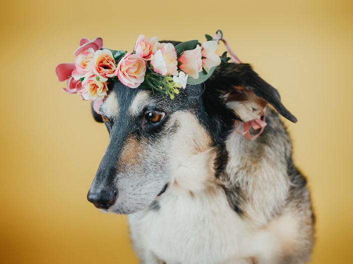 hund-studio-fotografie-1440-1-2-705x529 Hundefoto