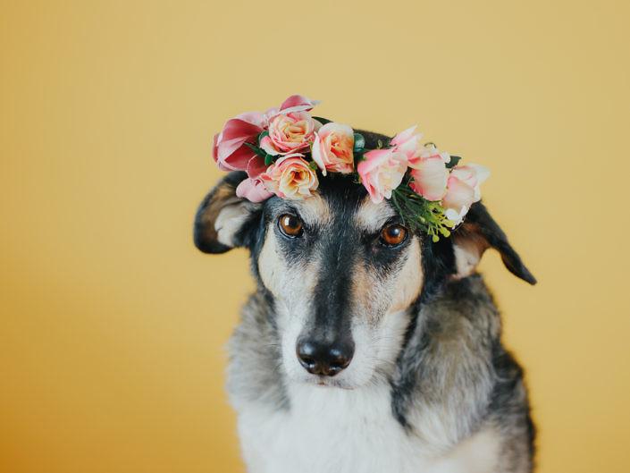 hund-studio-fotografie-1440-1-705x529 Hundefoto