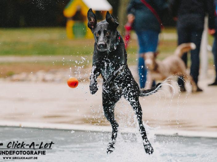 hundeschwimmen-koeln-2018-wm-800-3-705x529 Hundefoto
