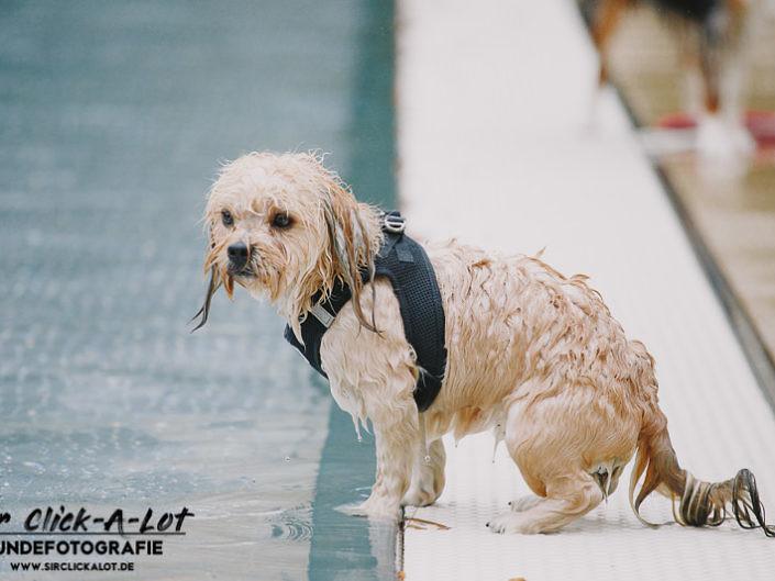 hundeschwimmen-koeln-2018-wm-800-4-705x529 Hundefoto