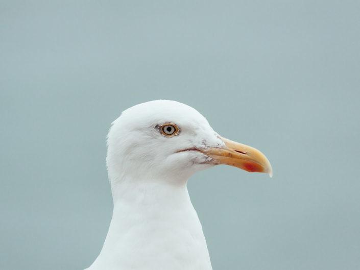 seagull-1440-1-705x529 Hundefoto