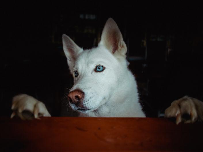 weisser-husky-mit-blauen-augen-1440-1-705x529 Hundefoto