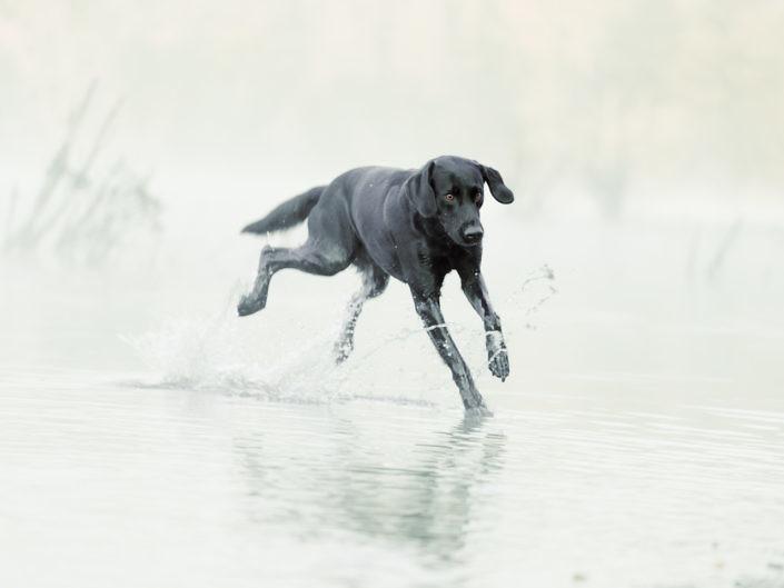 Black Labrador Running in the Water