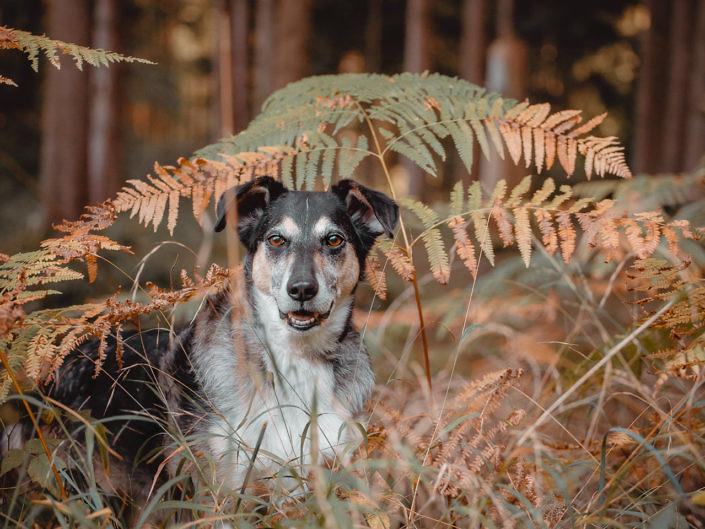 Jagdhund im Herbst im Wald