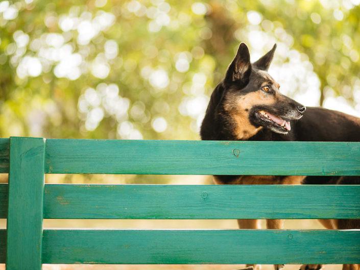 schaeferhund-auf-einer-bank-1440-1-705x529 Hundefoto
