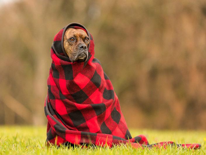 Boxer-hund-yoda-705x529 Hundefoto