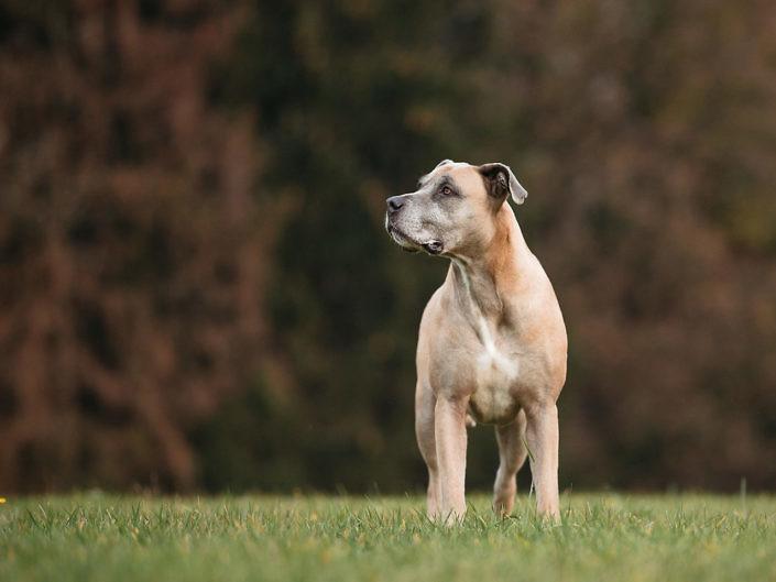 boerboel-dog-portrait--705x529 Hundefoto